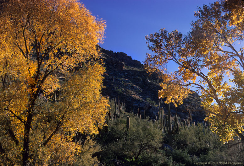 Cottonwood at Sabino Canyon 3