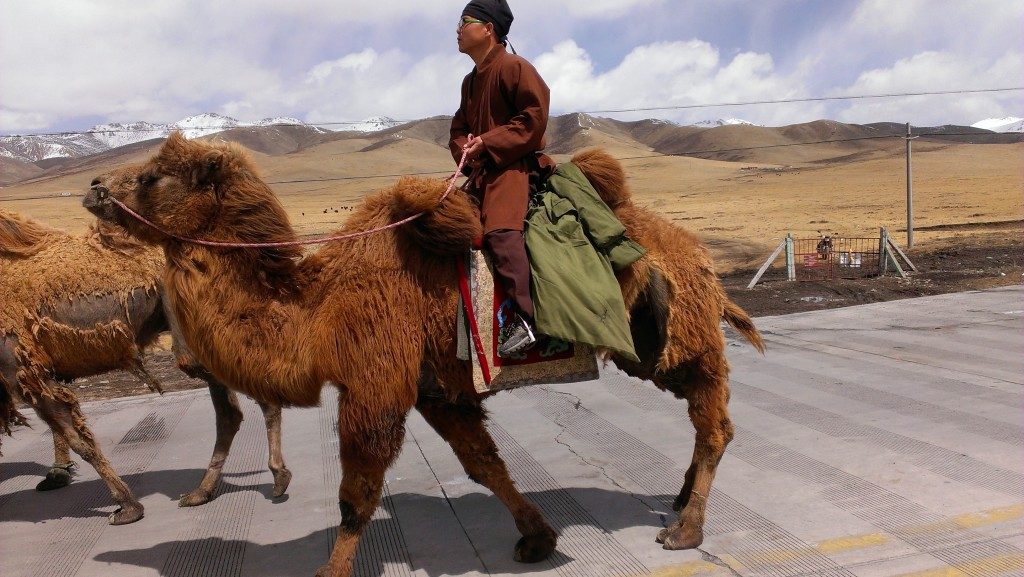 The camel on the left is losing his winter coat - maybe too soon!