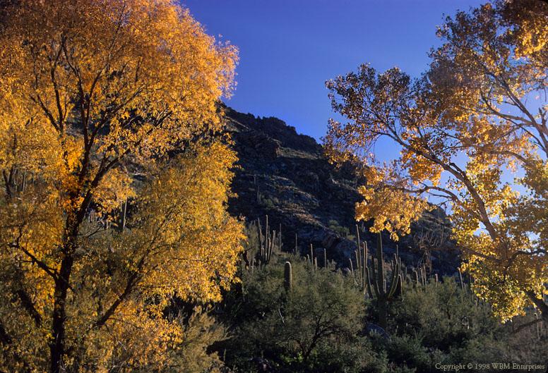 Cottonwood at Sabino Canyon 3
