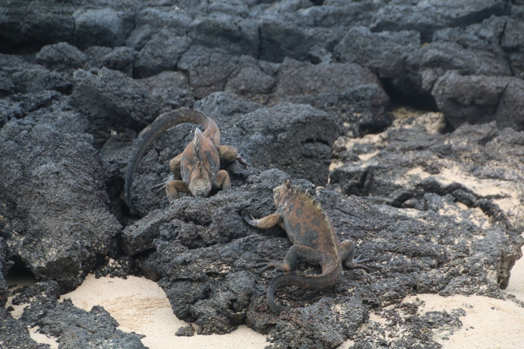 The marine iguana are the world's only marine lizard and can dive down to 25 metres!